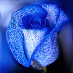BlueRose Avatar